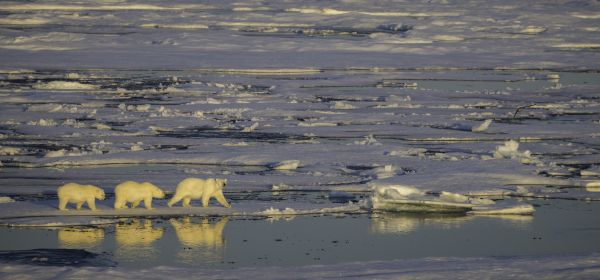 Polar bears walking across the Arctic ice